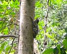 Rare Malayan Colugo spotted in the Quang Nam Saola Nature Reserve, Central Vietnam.