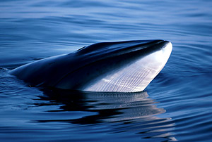 The Northern (or Common) minke whale (<i>Balaenoptera acutorostrata</i>) / ©: IFAW / J. Gordon
