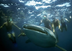Recreational snorkellers harassing a whale shark (<i>Rhincodon typus</i>), Baja ... / ©: WWF-Canon / Erkki SIIRILÄ