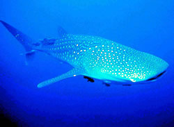 Growing up to 12m long and weighing up to 14 tonnes, whale sharks (<i>Rhincodon ...  	© WWF / Javier ORDÓÑEZ