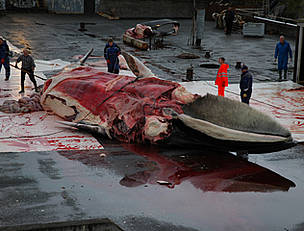 A fin whale is butchered by Icelandic whalers.