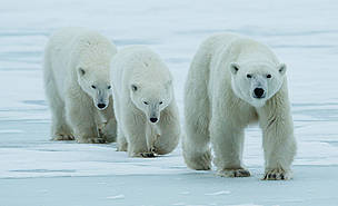 Beyond 40 years of successful polar bear conservation