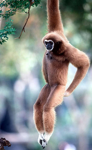 White-handed gibbon (<i>Hylobates lar</i>), or Lar gibbon. Found in Tropical ...  	© WWF / Martin HARVEY