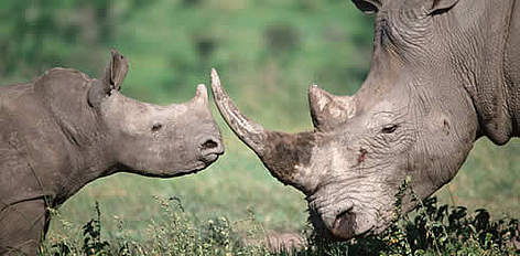 Adult and calf white rhino. rel=