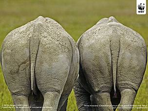 White rhinoceros (Ceratotherium simum) wallpaper  	© Martin Harvey / WWF