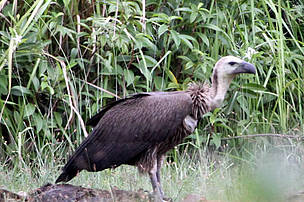 Whilte-rumped vulture, Cambodia