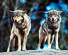 After a 100 year absence, European gray wolves are returning to the Swiss Alps.