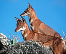 Ethiopian wolf (<I>Canis simensis</I>), Bale Mountains National Park, Ethiopia.<BR>
