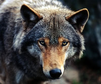 Close up of a wolf looking into the camera  	© WWF / Chris Martin Bahr
