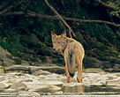Wolf from the 'Wolf mountains' movie about the Eastern Carpathians