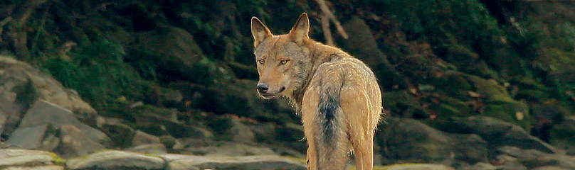 Wolf from the 'Wolf mountains' movie about the Eastern Carpathians  	© Arolla Film