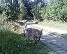 Wolves captured in Allentsteig military training area,  Austria's northeastern province.