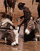 Peul (Wodaabe) lady filling waterskins in temporary pool, Central Niger.