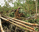 Cutting the wood in the plantation and taking it to the collection point for transport. DR Congo - Gorilla Appeal 2007
