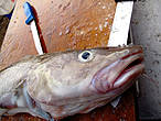 Illegal fishing leads to cod masssacre © Paul Sunters / WWF-Canon