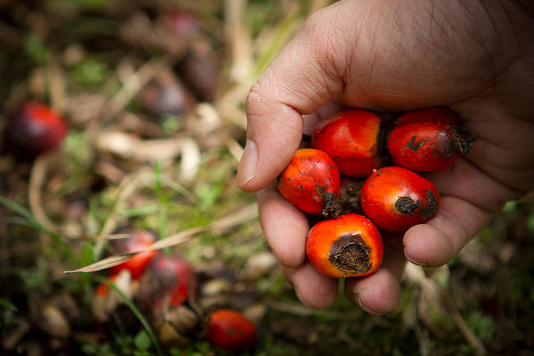 Companies too slow to switch to deforestation-free palm oil: WWF scorecard report