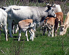 Grazing animals, like grey cattle, have been restored on Tataru Island. Without them the floodplain ...  	© WWF DCP Ukraine