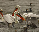 Dalmatian Pelicans, Prespa Lake, Greece.