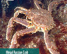 Illegal crab trade flows