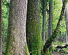 The ancient trees in the Bialowieza Forest date back hundreds of years, some as far back to the reign of Polish King Władysław II Jagiełło in the 14th century.