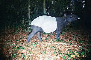 Camera trap photo of a tapir in Kuiburi National Park, Kayah Karen Tenasserim, Thailand