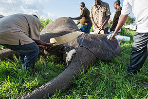 Foto: Guardaparques colocando el collar a un elefante sedado.