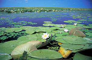 Lake inside reeds with White Waterlily, Nymphaea Alba, Ismail Islands, Ukraine.