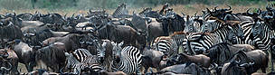 zebras migration / ©: WWF / Martin HARVEY