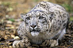Snow leopard (Panthera uncia) © David Lawson / WWF-UK