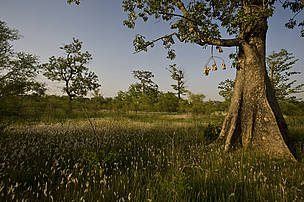 Grasslands managed by the Community Co-ordination Forest Committee (CFCC) in Khata, on the border of Bardia National Park. The land was previously grazed on, leaving it barren and bereft of life. Through sustainable management the area has now been regenerated. The committee was established with the help of WWF and allows communities to manage their own forests/grasslands in a sustainable manner. Khata, Bardia National Park buffer zone, western Terai, Nepal.