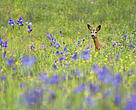 Male roe deer with Siberian irises, Slovakia