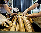Seized Shipment of Illegal African Elephant Tusks.