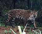 Jaguar captured on film by a camera trap in the Upper Paraná Atlantic Forest, Argentina  	© Fundacion Vida Silvestre