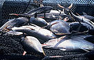 Yellowfin Tuna (<i>Thunnus albacares</i>). The world's tuna fisheries are worth around ...  	© WWF / Hélène PETIT