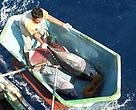 Yellowfin tuna fishing catch in the Indian Ocean