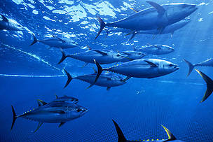 WWF deeply concerned over imminent certification of Mexican tuna fishery