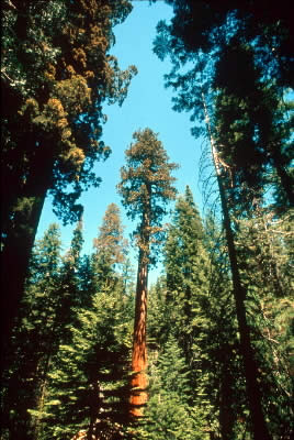 Giant redwood forest, Yosemite National Park, California, USA. / ©: WWF-Canon / Edward PARKER
