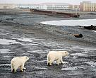 Young polar bears visit a Russian village.