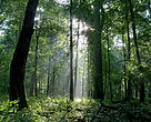Bialowieza, one of Europe's last virgin forests