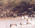 Zebras cross the Mara River into Kenya in the annual migration that is characterised by the movement of millions of wildebeest