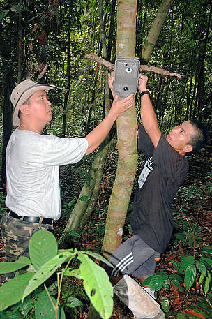 WWF staff set up the camera trap in the Bornean jungle of Sabah. This camera trap took the first ...      © WWF-Malaysia/Raymond Alfred