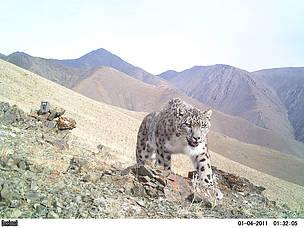 Snow leopard poaching - photo#39