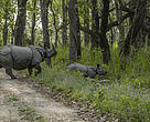 Nepal rhino count, Chitwan National Park, April 2015: one-horned rhino mother and calf.