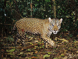 Jaguar       © BRIT / WWF-AREAS_Amazonia