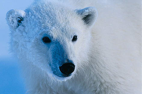 What WWF is doing for polar bears | WWF Kidfs Map Of Where Polar Bears Live on