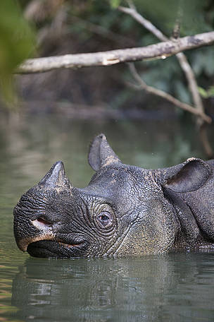Javan rhino in Ujung Kulon National park in Indonesia