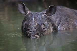 Javan rhino in Ujung Kulon National Park in Indonesia. There are only 57 left on earth, making it the rarest of the world's 5 rhino species