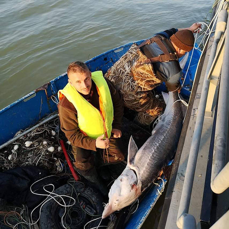 Poachers are not Afraid of Viruses: 2 Sturgeon Rescues, 2 Countries, 2 Days