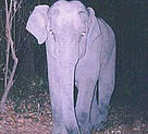 A camera trap captures an elephant's attention. A few camera traps are destroyed each year by camera shy elephants, but WWF has been relatively lucky to have lost so few