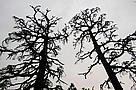 Silhouette of dead Atlantic cedar (Cedrus atlantica). WWF is organising training courses for foresters, NGOs, and local communities on the threats to and current conservation status of the Atlantic cedar forests. Middle Atlas, Morocco.